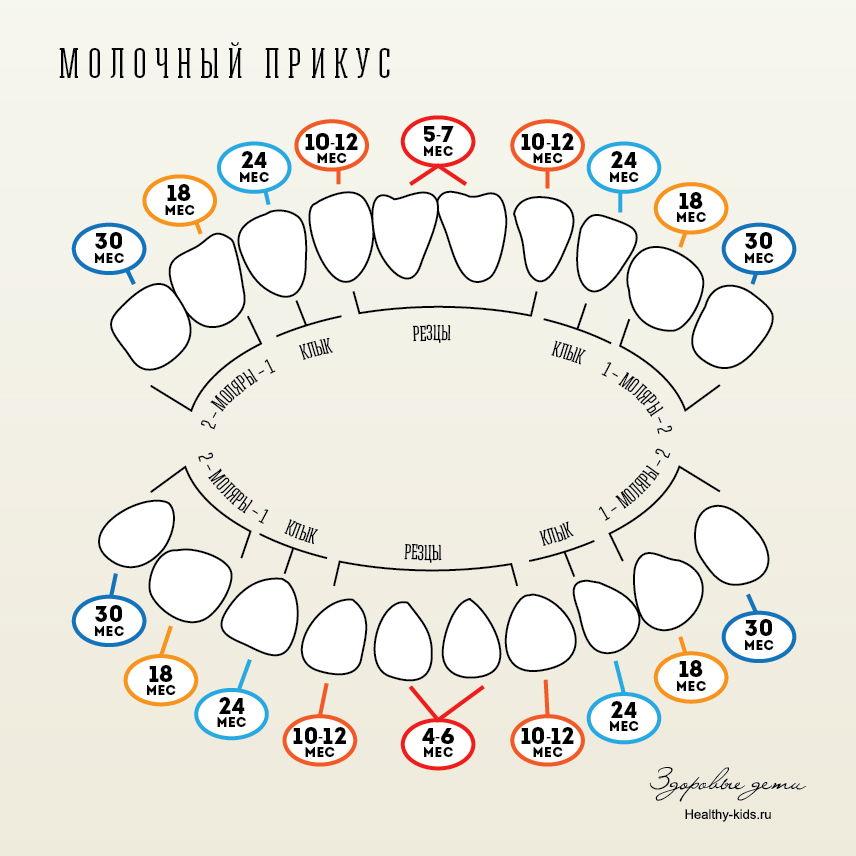 Смена молочных зубов у детей на постоянные: сроки, схема, порядок.